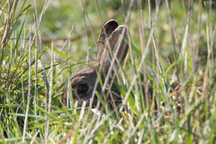Coniglio (Paolo Bertinetti) Tags: caffarella appiaantica coniglio