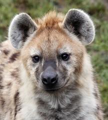 Gevlekte hyena in Blijdorp (robreintjes) Tags: dieren blijdorprotterdam zoogdieren panoramio54853482653574 rotterdamzoo519273544449141 googleplacecmrsaaaaekmi5mqd381yop8sibwqdeqg9np2kvwmfdxzncbkdm googleplacecmrsaaaaekmi5mqd381yop8sibwqdeqg9np2kvwmfdxzncbkdmeqjmyulf6oweh5xu3bix4lfjkax6oivjcyn6puhnb1ioyvdmpcd70qqrhtl1ay9kmn466e6ixvluzqkehcmdfsjpeqhhcancsmncajtghq8tava65aje5dlmy4nuryzhjoixg