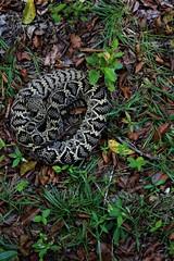Eastern Diamondback Rattlesnake (Crotalus adamanteus) (samdillon621) Tags: snake venomous eastern diamondback rattlesnake florida