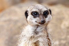 Meerkat looking straight at you (charissadescande) Tags: africa portrait safari cute nature ecology standing snout guard animal small creature wild wildlife mammal single eyes mongoose lookout environment watchful pretty wilderness alert addo easterncape southafrica zaf