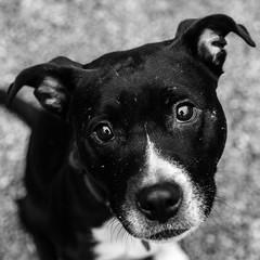 Lilo17Dec1600038-Edit.jpg (fredstrobel) Tags: dogs pawsatanta phototype atlanta blackandwhite usa animals ga pets places pawsdogs decatur georgia unitedstates us