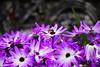 Pollinate (tammydesu) Tags: pollinate purple flowers flower field bee bees nature macro landscape