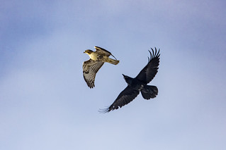 Raven versus Red tailed Hawk