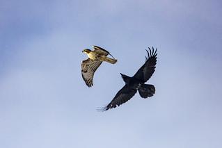 Raven versus Red tailed Hawk