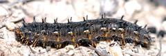 Meadow Argus; Junonia villida (sarracenia.flava) Tags: nymphalidae nymphalinae junonia villida butterfly