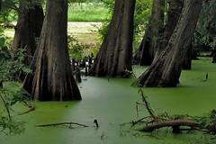 Greenville - Incoming Light (Drriss & Marrionn) Tags: bluestrail2014 outdoor bayou swamp nature preserve green tree trees cypresstrees water creek serene greenvillecypresspreserve plants duckweed