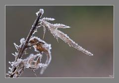 #AM Feuilles givrées (thierrymazel) Tags: hiver winter feuilles leaves leaf gel givre bokeh profondeur de champ bordure photo calme plante pastel