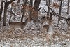 Deer-Fallow Bucks_4294 (Porch Dog) Tags: snow 2017 garywhittington nikond750 nikon200500mm wildlife kentucky lbl landbetweenthelakes betweentherivers fallowdeer buck stag antlers rack