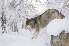Loner (CecilieSonstebyPhotography) Tags: canon canon5dmarkiii ef70200mmf28lisiiusm january langedrag markiii bokeh closeup lonely snow winter wolf woods specanimal ngc npc