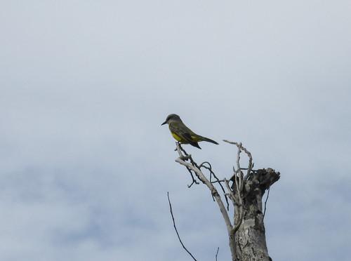 Tyrannus melancholicus (Tropical Kingbird)