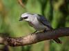 White-bellied Cuckoo-shrike (Coracina papuensis) (Arturo Nahum) Tags: australia aves animal arturonahum birdwatcher bird birds pajaros