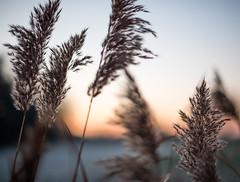 Winter grace (Ir3nicus) Tags: nikond750 dslr germany niederrhein deutschland issum nordrheinwestfalen dusk nature reed schilf stalk halm sunlight bokeh prime 50mm afs50mm14g