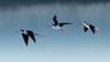 Stilts in Flight (Patricia Ware) Tags: ballonawetlands birdsinflight blackneckedstilt california canon ef400mmf4doisiiusmlens handheld himantopusmexicanus playadelrey httppwarezenfoliocom ©2017patriciawareallrightsreserved losangeles unitedstates us specanimal