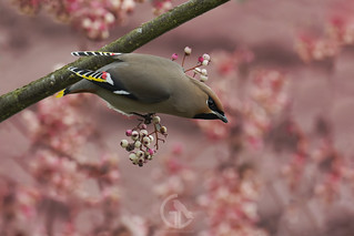 Waxwing Pink Berries 25th January