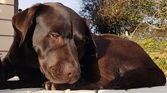 Silver Lining.. (Michael C. Hall) Tags: labrador chocolate lying resting relaxing asleep snooze