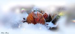 Piège d'hiver (Didier HEROUX) Tags: gel hiver winter froid glace ice nature piège hautesavoie didierheroux herouxdidier alpes janvier balade rando feuillesmortes blanc