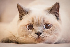 Crouching Tiger (Feng Wei Photography) Tags: looking britishshorthair color domesticcat cute pet kitten adorable cat beautiful sitting horizontal shorthaircat oneanimal bellevue washington unitedstates us