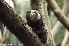 Ouistiti de Geofffroy dans tous les sens (nicotr) Tags: 20170129 ouistiti singe zoo