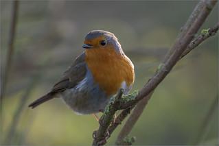 Robin (explored 8/2/17)