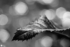Dancing in the dark (Trayc99) Tags: beautyinnature beautyinmacro blackandwhite leaf macro macromondays closeup bokeh light tone