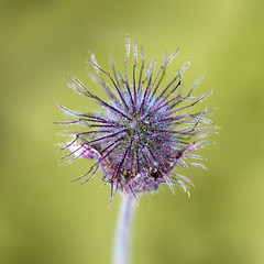 Small Alien Plant (Bereno DMD) Tags: wild plant flower color detail macro nature canon garden purple bokeh bronx small alien 100mm sharp odd round foreign bronxbotanicalgarden