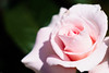 ILCE-6000_2015158_DSC09668 (Sicong (OFF for a while)) Tags: flower nature fleur rose sony a6000 sal135f18za sonnarte1824