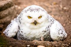 Edmonton Valley Zoo (IQRemix) Tags: bird nature animal animals canon zoo edmonton bokeh wildlife alberta valley owl 5d snowyowl 70200mm markiii yeg valleyzoo buenavistaroad edmontonzoo edmontonvalleyzoo yegzoo buildingourzoo