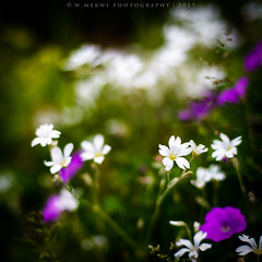 HBW (w.mekwi photography [here & there]) Tags: flowers white nature closeup dof bokeh outdoor squareformat 50mmf14 hbw nikond800 wmekwiphotography