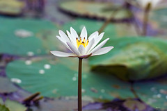 EmuD000261fl (Emu Alim) Tags: flower waterlily lotus places 70200 darkhar gangasagar 40028fl ghaghutia