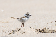 Birds of Sandy Hook - Endangered Piping Plover Chick - 35 (RGL_Photography) Tags: us newjersey highlands unitedstates chick handheld monmouthcounty jerseyshore sandyhook pipingplover endangeredspecies shorebirds charadriusmelodus gatewaynationalrecreationarea pipingploverchick nikond610 tamronsp150600mmf563divcusd birdsofsandyhook