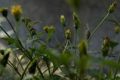 Detalhes da Natureza (rod.hokpicture) Tags: macro verde green up yellow lens nikon close amarelo usp macromundo d3100