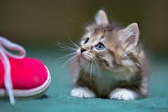 Peanut the kitten (hjonesphotography) Tags: life summer usa cats pets animals cat canon kitten pennsylvania kittens pa canon5d mammals summerlife teamcanon petlife petslife 5d3 5dmarkiii