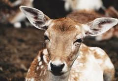 bambi (omnia_mutantur) Tags: italy animal fauna italia head ears deer fawn cabeza bambi gamo italie tête ciervo cerf cervo orelhas faune stresa testa oreilles villapallavicino cerbiatto faon orejas orecchie cervato