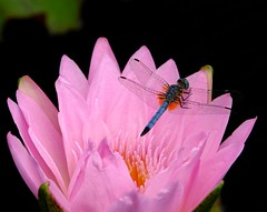 Dragonfly on Waterlily (Joe Tecza) Tags: flower waterlily longwoodgardens