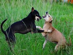 ,, Boney Boy & The Worm ,, (Jon in Thailand) Tags: playing dogs eyes nikon alien sigma ears paws fangs tails k9 d300 theworm bigfun 10528 thelittledoglaughed boneyboy littledoglaughedstories