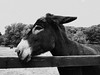 clare 112edfit (barry.oshea) Tags: ireland sea white black water clare donkey ennistymon lehinch