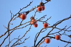 Fruits of Kaki(Japanese persimmon) (shizen.shigen) Tags: カキノキ diospyroskaki japanesepersimmon