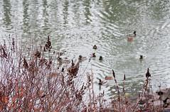 Ducks on the Willamette (Orbmiser) Tags: 70300vr d90 nikon oregon portland winter willametteriver riverbank plants ducks wildlife