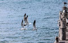 IMG_0354 (DaveGifford) Tags: mexico islamujeres birds seagull casabonita quintanaroo