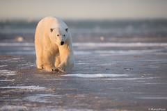 churchill-2016_DSC0694 (Marco Pozzi photographer (800k+ views, thanks)) Tags: polar bear polarbear orso orsopolare orsobianco churchill manitoba canada dusk sunset marcopozziphotographer marcopozzi pozzi specanimal
