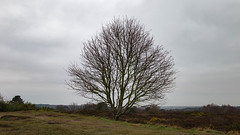 Tree Atop Thurstaston (cathbooton) Tags: wirral project monthly seasons changes light weather time document gorse heather nature