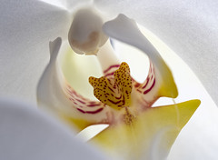 orchid up close (Krzysztof Kozłowski) Tags: orchid macro nature flower olympus zuiko
