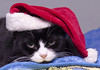 Mamma (Diane G. Zooms---Mostly Off) Tags: fantasticnature christmascat catsatchristmas holiday cats blackwhitecats dianegiurcophotography pets petsatchristmas christmaspets catmoments christmas holidaypets kittyschoice bestofcats beautiesbeasts