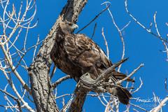 Beautiful juvenile Golden Eagle