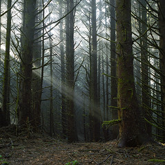 If light falls in the forest (Zeb Andrews) Tags: hasselblad film mediumformat 6x6 forest trees oregoncoast oregon landscape lightbeams pacificnorthwest wilderness kodakportra400 filmisnotdead filmphotography