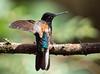 IMG_3198 Velvet-purple Coronet (suebmtl) Tags: bird hummingbird ecuador mindolindo mindo pichinchaprovince velvetpurplecoronet boissonneauajardini