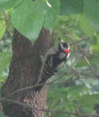 Downy Woodpecker (male); 20110427; US-VA-Virginia Beach (plantpollinator) Tags: dryobatespubescens dryobates picidae piciformes
