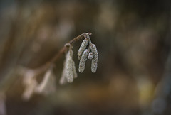 Hanging (marcmayer) Tags: bokeh nikon d5200 nikkor 50mm f18 nature natur forest wald wood