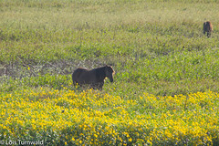 Wild Horses on the Prairie (11Jewels) Tags: canon 70300 wildhorses lachuatrail paynesprairiepreserve statepark gainesvillefl florida