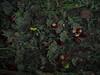 water chestnuts (apalca) Tags: beek gelderland onderwater renkum water stream chestnuts kastanjes underwater
